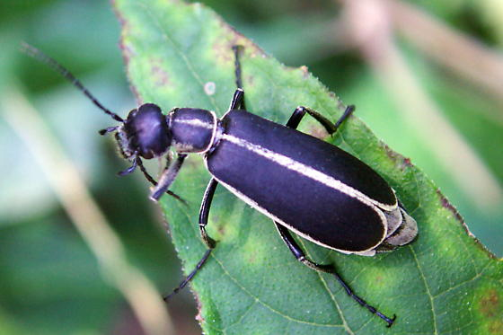 Grey and black beetle - Epicauta funebris