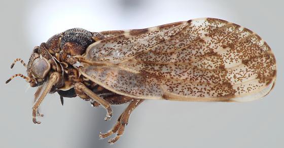 Pachypsylla celtidismamma - female