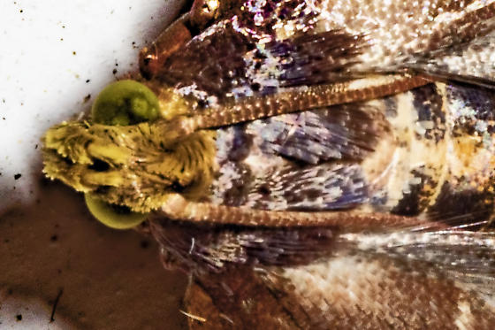 quiet dark moth - Pyralis farinalis