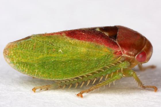 unknown Cicadellid ? - Momoria magna