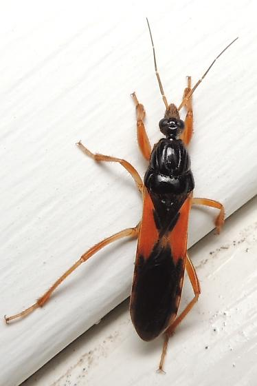 interesting black and orange bug - Sirthenea carinata