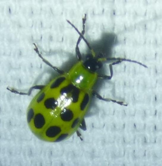 unknown insect - Diabrotica undecimpunctata
