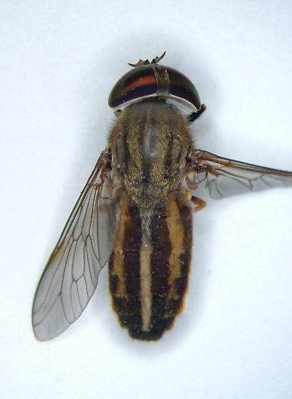 Tabanid - Tabanus - female
