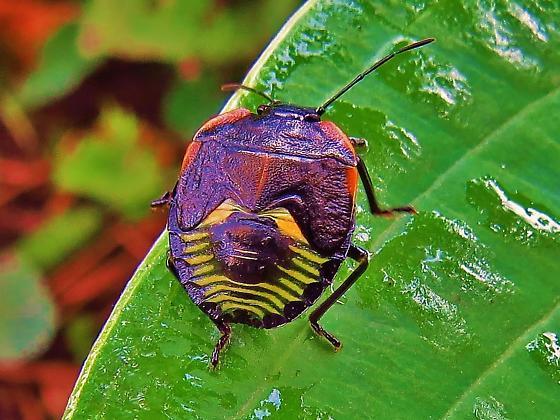 Id help needed - Green stink bug nymph - Chinavia hilaris