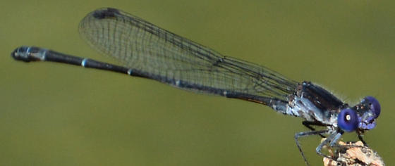 Possible Dusky Dancer - Argia translata - male