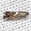 Yellow Nutsedge Moth - Hodges #2346 - Diploschizia impigritella