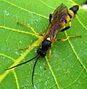 Ichneumon Wasp - Ichneumonini - male