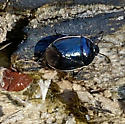Sehirus cinctus - White-margined Burrower Bug? - Sehirus cinctus