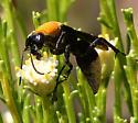 Hymenoptera-Vespoidea-Pompilidae-Psorthaspis ? - Psorthaspis portiae - female