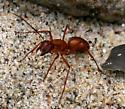 Ant [Camponotus? castaneus??] ID Request - Camponotus castaneus