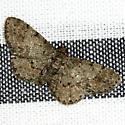 Texas Gray Moth - Hodges #6443 - Glenoides texanaria