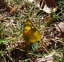 TN Sulphur species? - Colias eurytheme