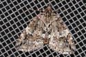 Unidentified moth-36-Bayfield - Hydriomena divisaria