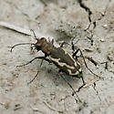 Cicindela species, but which? - Parvindela terricola