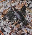 Punctured Tiger Beetle - Cicindelidia punctulata