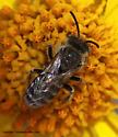 Bee - Hesperapis - male