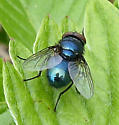 blue bottle? Lucilia? - Lucilia - male