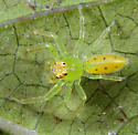 Salticidae - Lyssomanes viridis