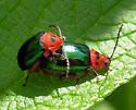 Unknown hoppers mating - Kuschelina gibbitarsa - male - female