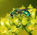 Cuckoo Wasp-Family Chrysididae - Chrysis