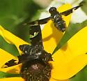 Bee Fly large - Exoprosopa decora - male - female