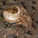 Spider IMG_2207 - Eustala cepina