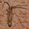 Small Longhorn Beetle - Tenomerga cinerea
