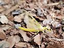 Yellow Mayfly - Hexagenia limbata