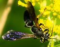 Bembicinae? - Tachytes guatemalensis - female