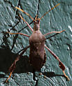 Stink-like Bug - Leptoglossus