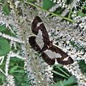 Small black and white moth - Heliomata cycladata