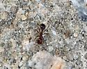 Ant - Solenopsis invicta
