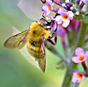 New bee to me - Bombus perplexus