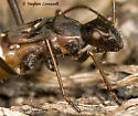 Convincing Ant Mimic