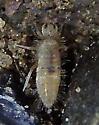 possible springtail - Entomobrya unostrigata
