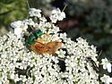 Cuckoo Wasp, Ambush Bug and Bethylid wasp
