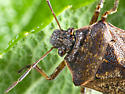 Stinkbug maybe? - Podisus serieventris