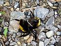 Bumble Bee - Bombus borealis