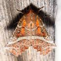 8555 The Herald - Scoliopteryx libatrix