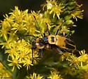 Goldenrod Soldier Beetles and flies - Chauliognathus pensylvanicus - male - female