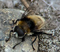 hairy fly? - Merodon equestris