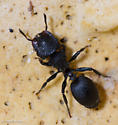 Cephalotes rohweri - female