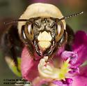 Centris sp. - Centris - female