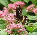 Mystery Butterfly at the Magnolia Plantation and Gardens! - Papilio palamedes
