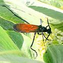 spider wasp - Pepsis