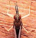Isonychia sp. - Isonychia - female