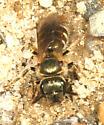 Sweat Bee - Halictus confusus
