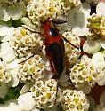 beetle - Macrosiagon