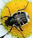 Flower Chafer Genus Trichiotinus - Trichiotinus affinis