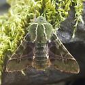 Sphingidae: Prosperpinus lucidus - Proserpinus lucidus